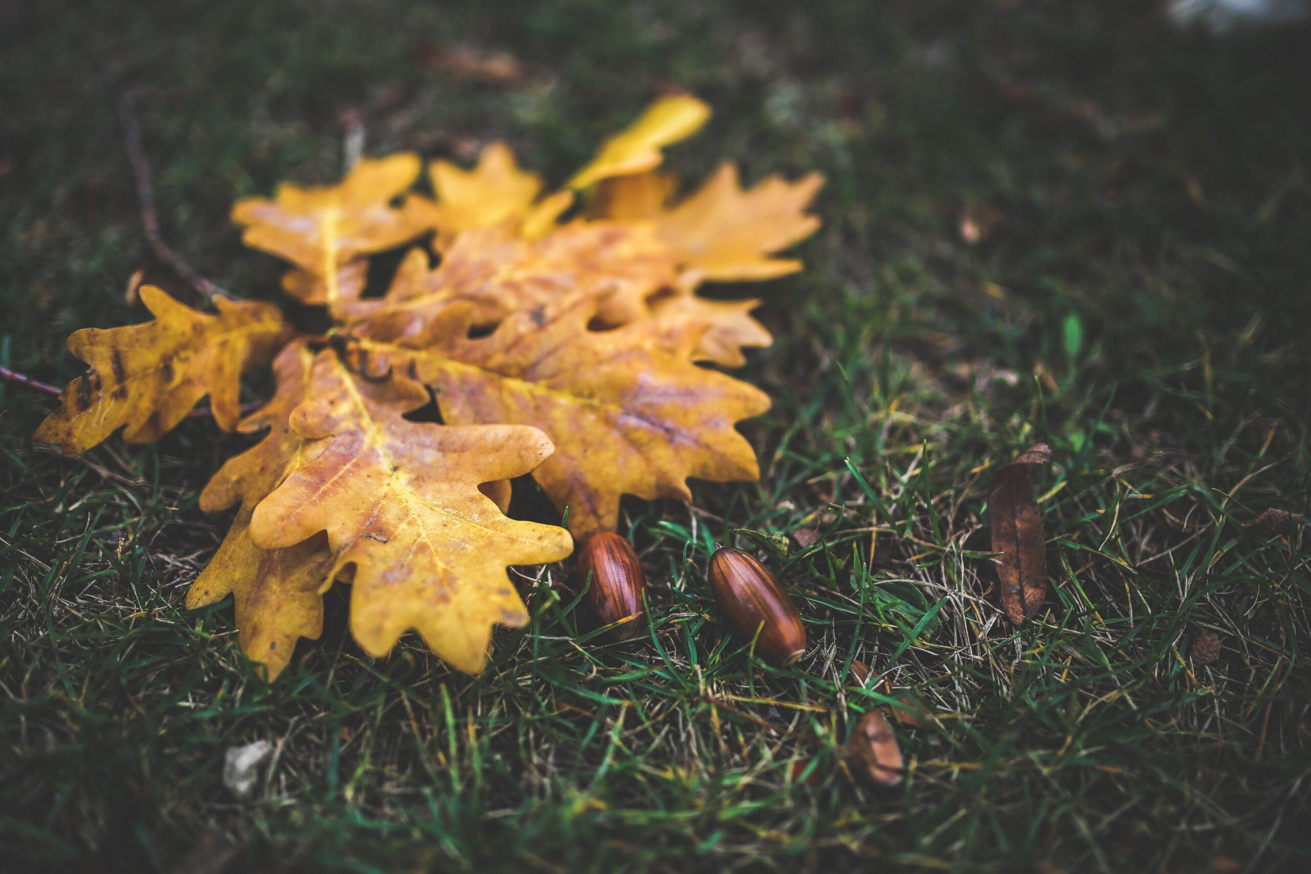 Autumnal oak-leaves